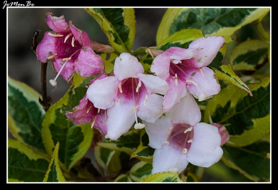 Abelia 'Edward Goucher' 00