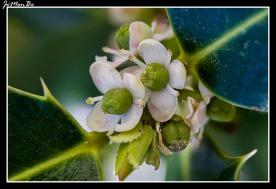 Acebo (Ilex aquifolium) 00