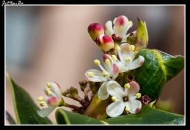 Acebo (Ilex aquifolium) 01