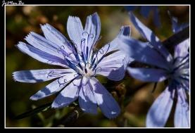 Achicoria silvestre (Cichorium Intybus)
