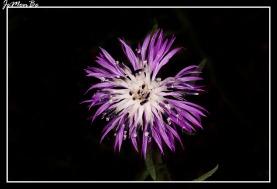 Aciano de montaña (Centaurea montana) 01