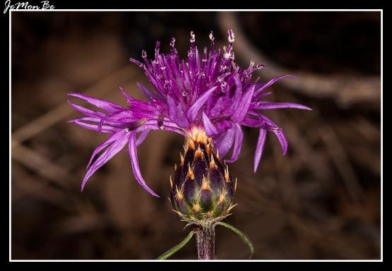 Aciano de montaña (Centaurea montana) 02