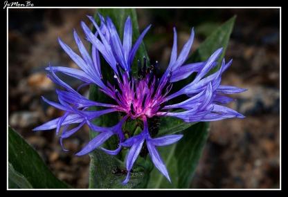 Aciano de montaña (Centaurea montuna)