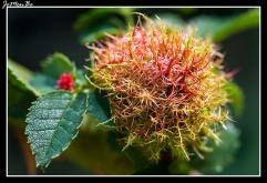 Agalla del rosal (Diplolepis rosaae)