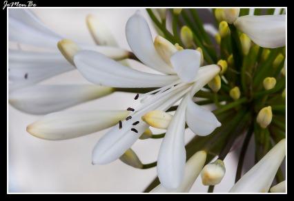 Agapanto (Agapanthus africanus)
