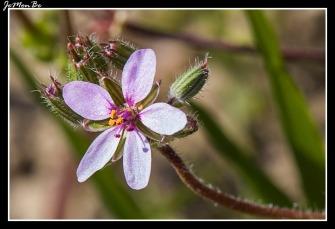 Agujetas (Erodium cicutarium)