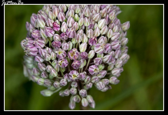 Ajo porro (Allium Ampeloprasum)