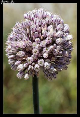 Ajo puerro (Allium ampeloprasum)