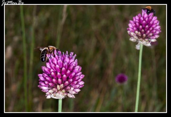 Ajo rojo (Allium Sphaerocephalon) 01