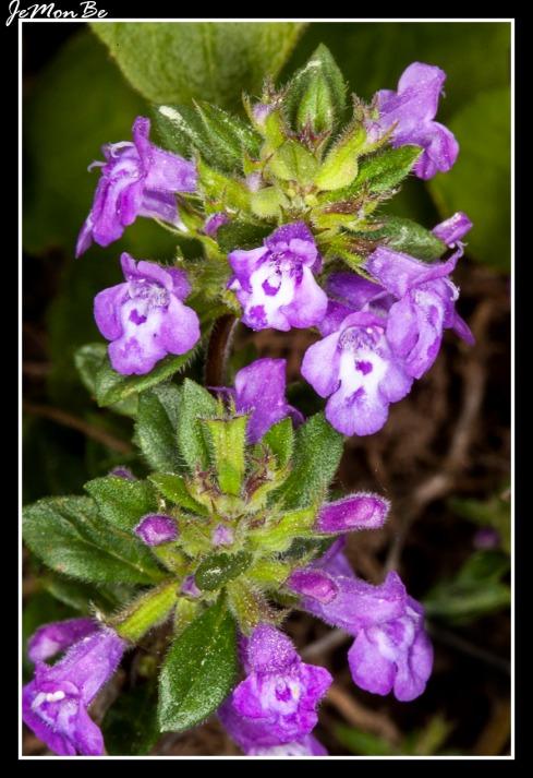 Albahaca agreste (Acinos alpinus) 01