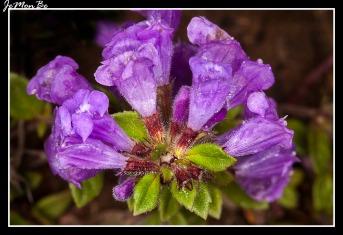 Albahaca agreste (Acinos alpinus)