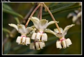 Algodoncillo (Gomphocarpus physocarpus) 01