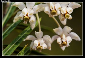 Algodoncillo (Gomphocarpus physocarpus) 02