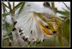 Algodoncillo (Gomphocarpus physocarpus) 03