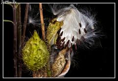 Algodoncillo (Gomphocarpus physorcarpus) 04