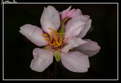 Almendro (Punus dulcis) 01