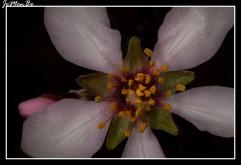 Almendro (Punus dulcis) 02