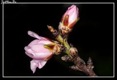 Almendro (Punus dulcis) 03