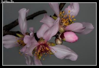 Almendro (Punus dulcis) 04