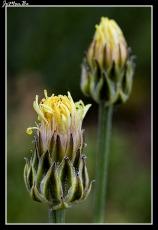 Almidón (Crepis albida)