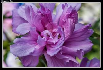 Altea, Rosa de Siria (Hibiscus Syriacus) 01