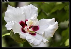 Altea, Rosa de Siria (Hibiscus Syriacus) 02