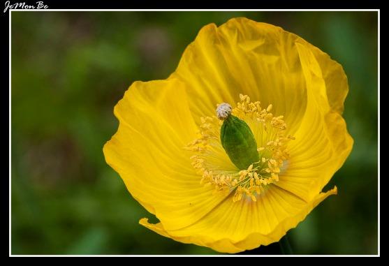 Amapola amarilla (Meconopsis cambrica)
