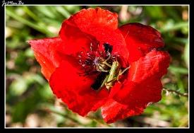 Amapola común (Papaver rhoeas) 01