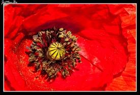 Amapola común (Papaver rhoeas) 02