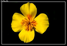Amapola de California (Eschscholzia californica)