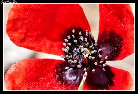 Amapola hispida (Papaver hybridum)