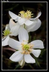 Anemona del bosque (Anemone Nemorosa)