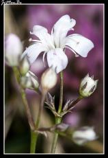 Arenaria grandiflora 01