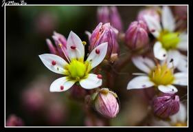 Arrocetas (Sedum Dasyphyllum) 01