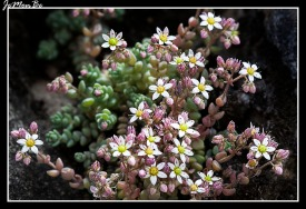 Arrocetas (Sedum Dasyphyllum) 02
