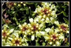 Astragalus australis