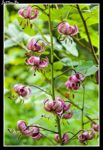 Azucena del puerto (Lilium martagon) 02