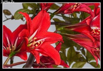 Azucena rosa (Amaryllis belladona)