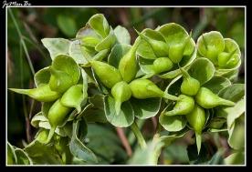 Ballestera verde (Helleborus viridis)