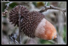 Bellota (Quercus coccifera) 01