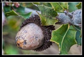 Bellota (Quercus coccifera) 02