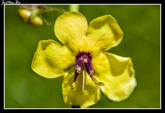 Berbasco , guardalobo (Verbascum sinuatum) 00