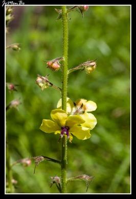 Berbasco , guardalobo (Verbascum sinuatum) 01