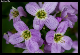 Berro de prado (Cardamine pratensis polemonioides)