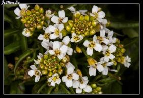 Berro (Rorippa Nasturtium)