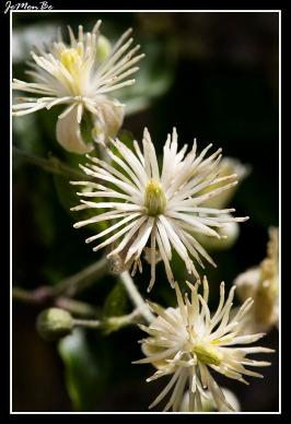 Betiguera (Clematis vitalba)
