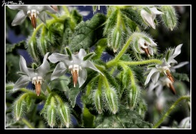 Borraja (Borago officinalis) 02