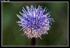Botón azul (Jasione montana) 01