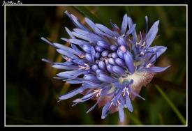 Boton azul (Jasione montana)
