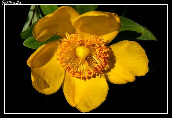 Boton de oro (Ranunculus repens) 00